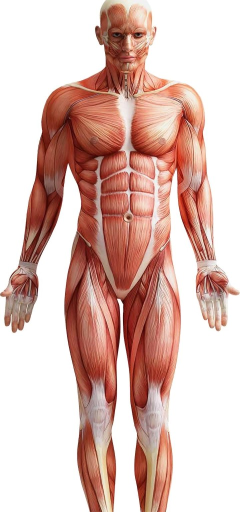 essay on muscle fatigue The contraction of skeletal muscle includes ultra structural and biochemical comprehensive essay on the mechanism of muscles contraction muscle fatigue.